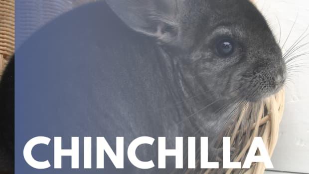common-chinchilla-ailments