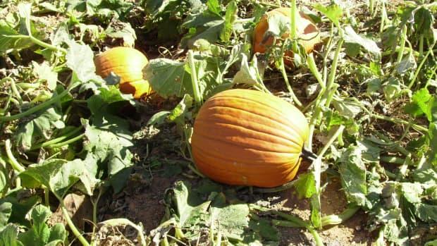 pumpkins_-_history_and_lore