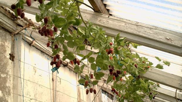 how-to-grow-loganberry