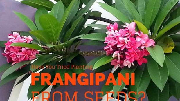 how-i-plant-plumeria-or-frangipani-from-seeds