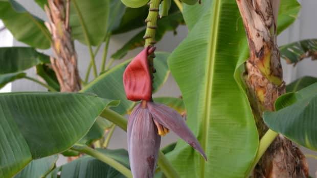 10-uses-of-banana-plants