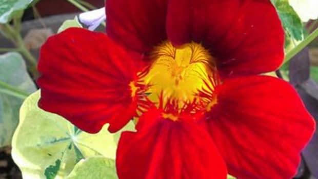 plant-spotlight-nasturtiums