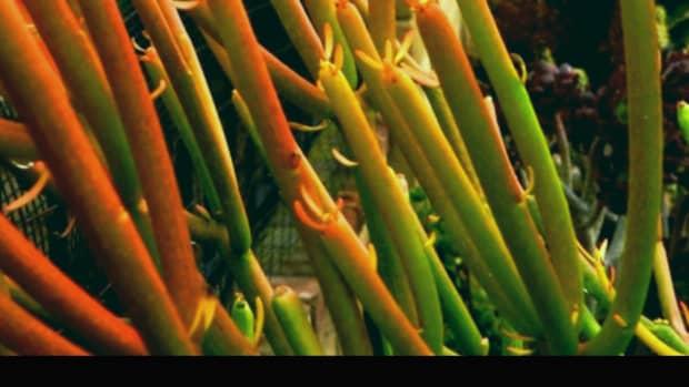 fire-sticks-succulent