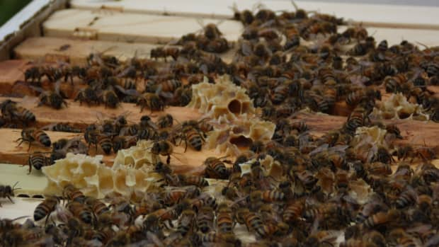setting-up-a-swarm-trap-for-honey-bees