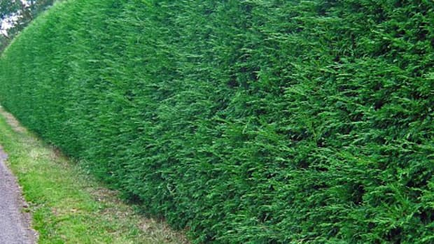 how-to-plant-and-maintain-your-living-fence