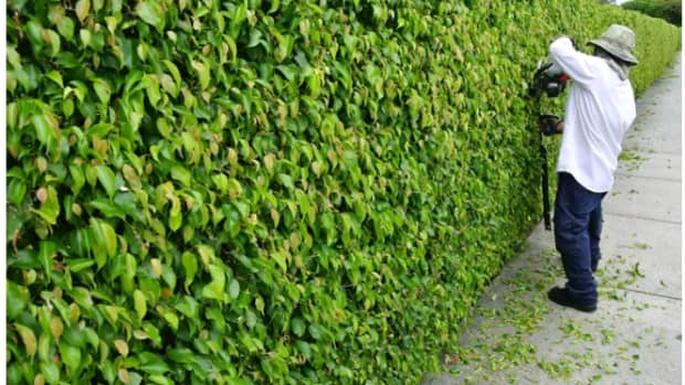 how-to-prune-your-living-fence