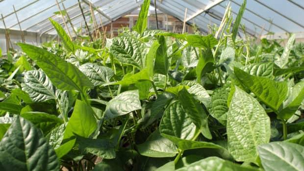 growing-cowpeas-black-eyed-peas-as-a-vegetable