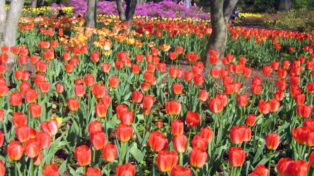 tulips-springbloomingbulbstoplantinfall