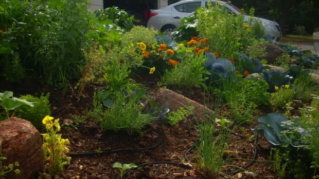 edible-landscaping-in-the-front-yard