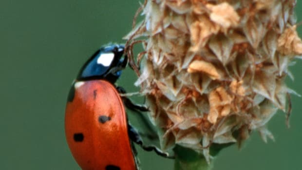 ladybugs-they-can-keep-your-flowers-and-plants-pest-free