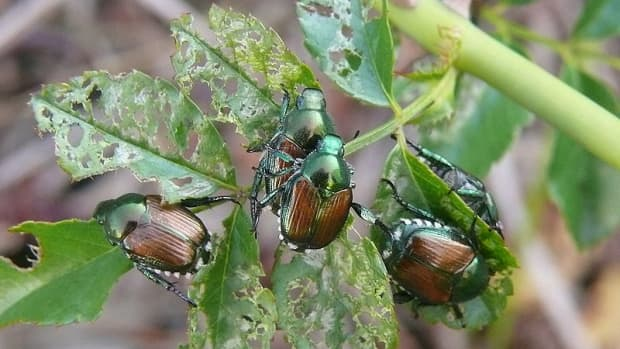 how-to-rid-your-yard-of-japanese-beetles