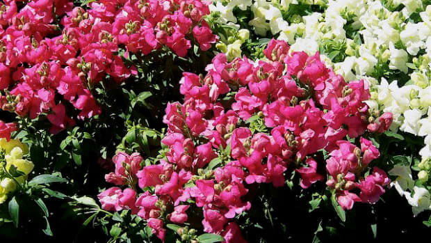 why-do-snapdragons-come-back-each-season-in-different-colors