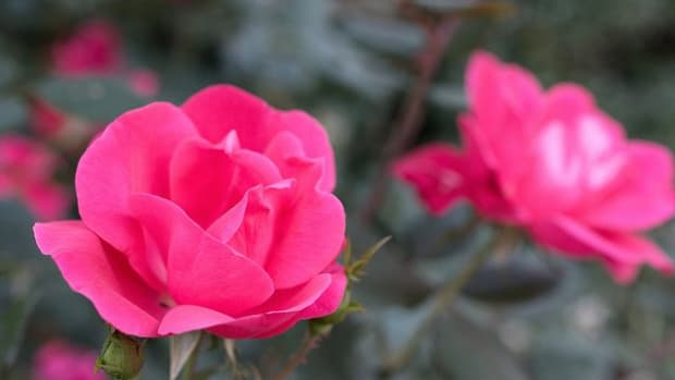 growing-and-caring-for-knock-out-roses