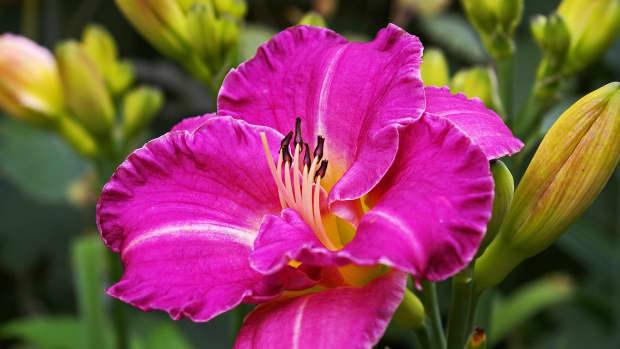 easy-rewarding-daylilies-to-grow