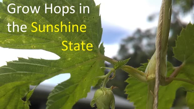 Growing Hops in Florida