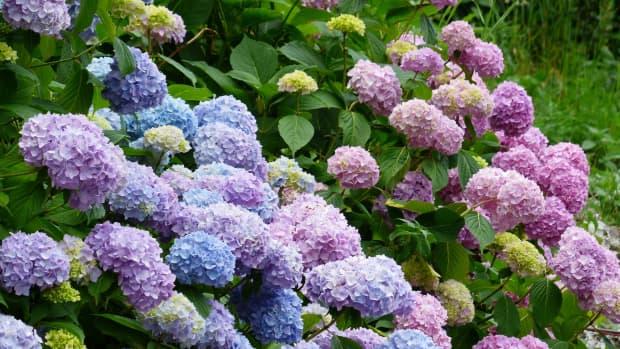 how-to-plant-hydrangeas
