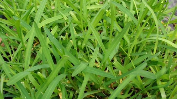 how-to-care-for-st-augustine-grass