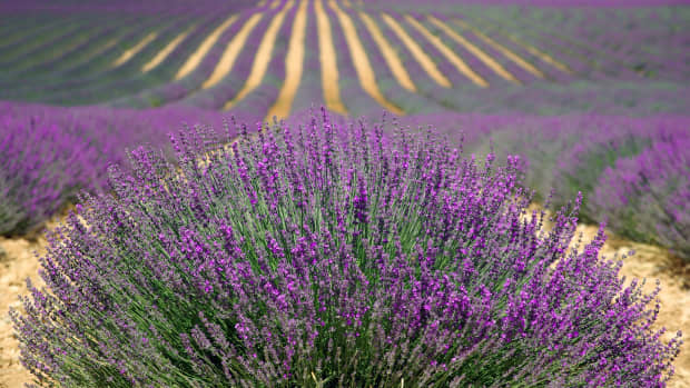 how-to-care-for-lavender-plants