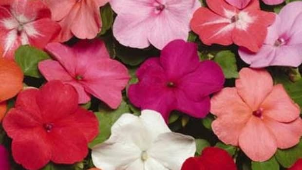 growing-impatiens-in-ohio