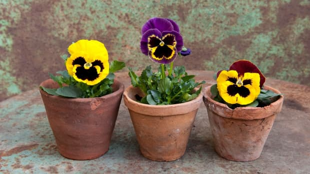 how-to-plant-pansies-in-the-garden