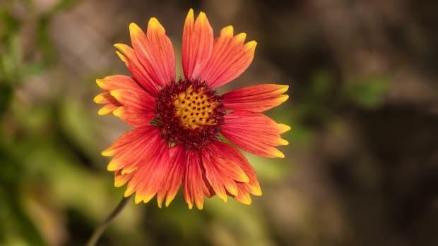 blanket-flowers