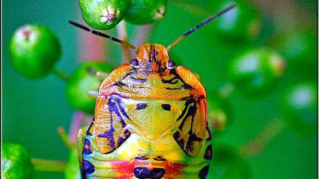 stink-bug-population-increasing-in-the-united-states
