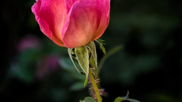 the-care-and-feeding-of-a-wild-prairie-rose