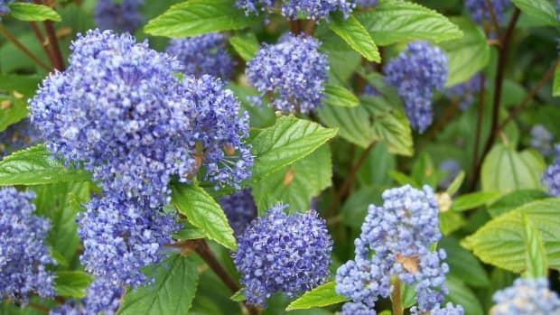 ceanothus-shrubs