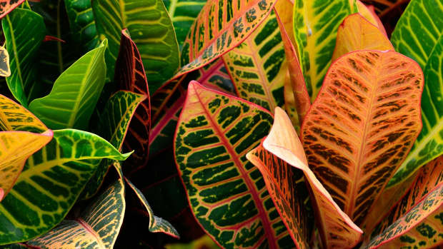 how-to-care-for-croton-plants