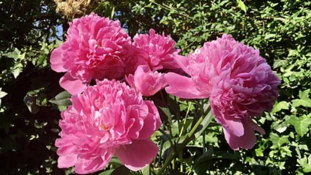 how-to-plant-grow-and-care-for-peonies