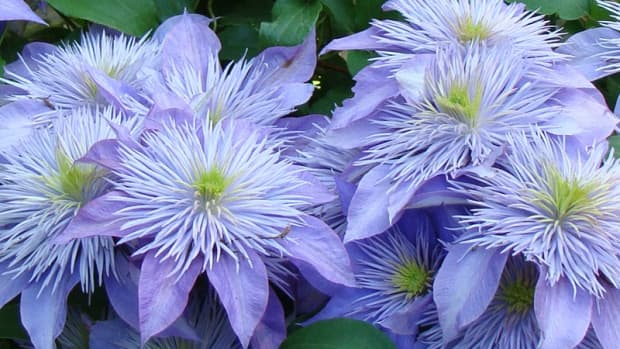 how-to-grow-bountifully-blooming-clematis-flowers