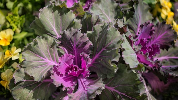 plant-ornamental-cabbage-and-kale-to-replace-frost-bitten-annuals
