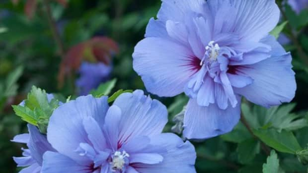 the-planting-and-care-of-varieties-of-rose-of-sharon-flowers