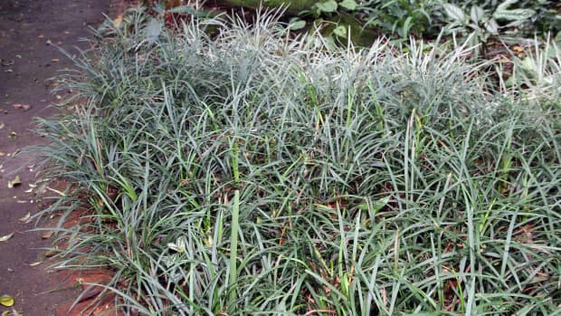 how-to-care-for-monkey-grass