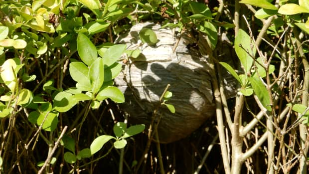 get-rid-of-wasp-nest