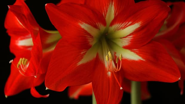 how-to-plant-and-grow-stunning-amaryllis-flowers