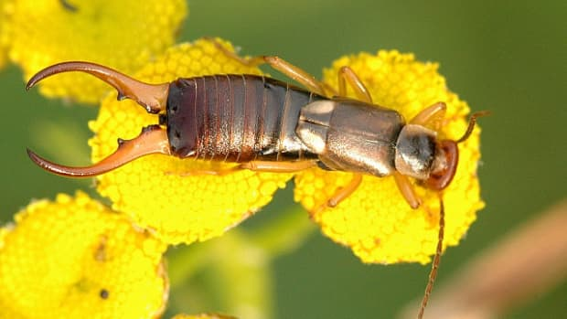 how-to-get-rid-of-earwigs-in-your-home-and-garden