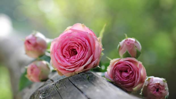 all-rose-tyoes-for-your-perennial-garden