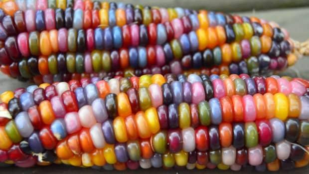 beautiful-glass-gem-corn