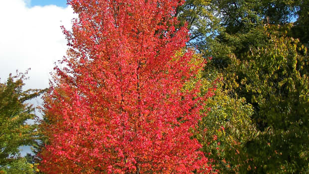red-maple-tree-facts-uses-and-planting-tips