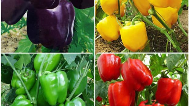 planting-peppers-in-your-ohio-garden