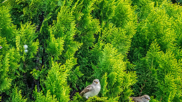 create-a-safe-haven-for-your-backyard-birds-by-planting-a-leyland-cypress-tree