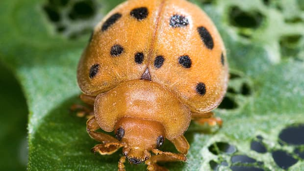 how-to-get-rid-mexican-bean-beetles