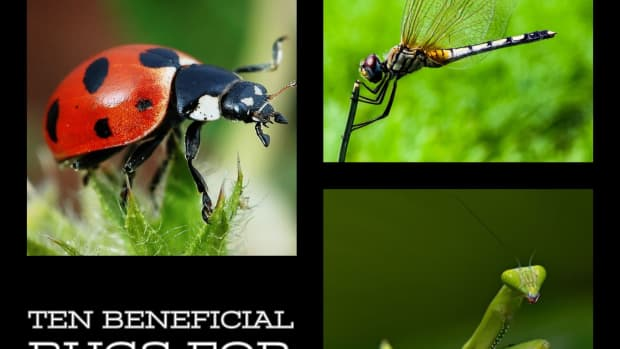 ten-beneficial-bugs-for-your-garden