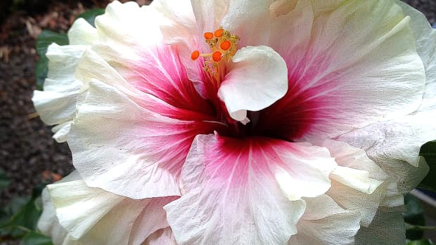 for-the-love-of-double-tropical-hibiscus