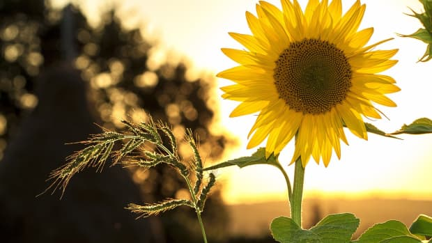 how-to-grow-the-best-sunflowers