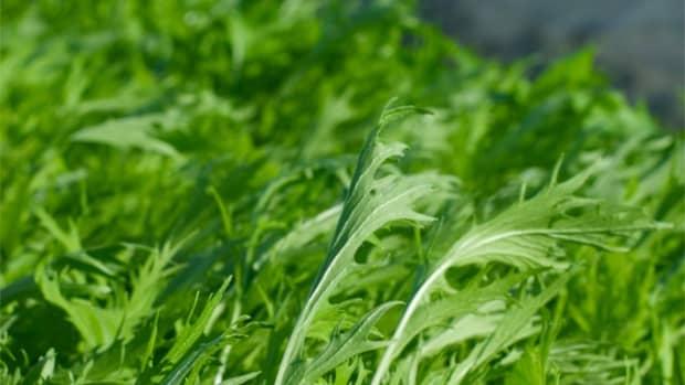 how-to-grow-mizuna-japanese-mustard