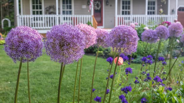 ornamental-alliums-unique-flowers-for-the-perennial-border