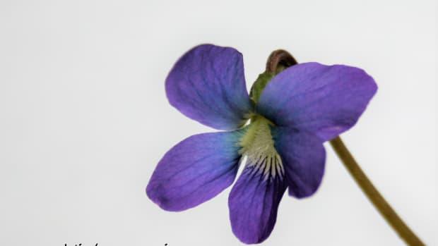 common-blue-violets-viola-sorosia