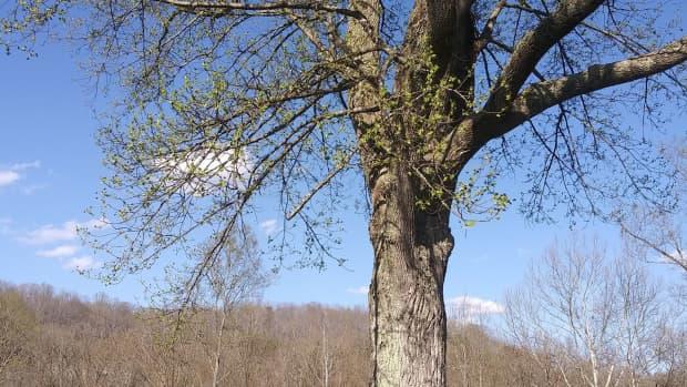 how-to-grow-tulip-poplar-trees